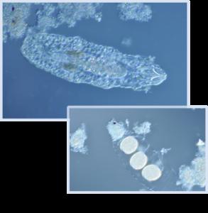 Macrobiotus(マクロビオタス)
